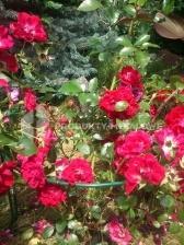 Podpora do kwiatów Typ SM H=50 cm komplet 2 sztuki
